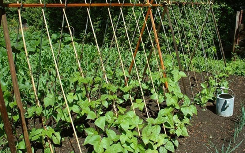 trồng đậu đũa ngọt lùn