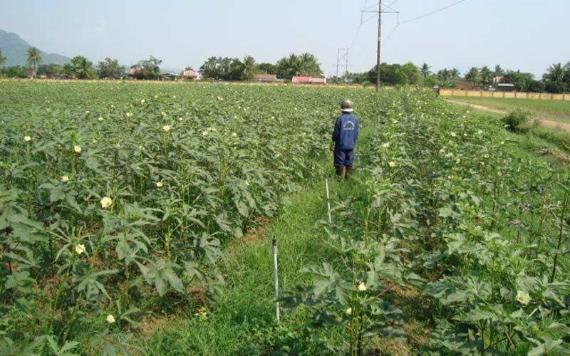 trồng đậu bắp