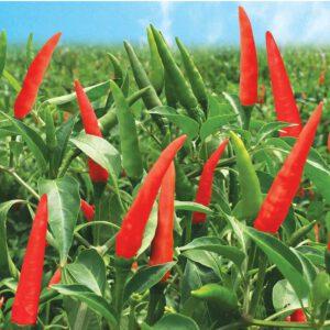 trồng ớt chỉ thiên