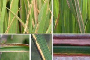 starner 20wp trị vi khuẩn trên lúa
