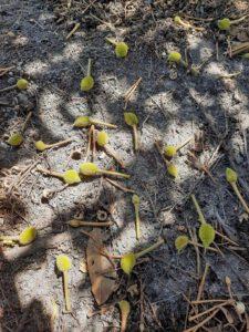 sầu riêng rụng trái non