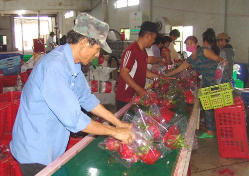 thanh long ruột đỏ Việt Nam