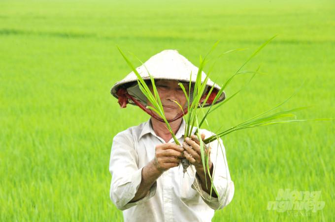 canh tác hữu cơ trên lúa