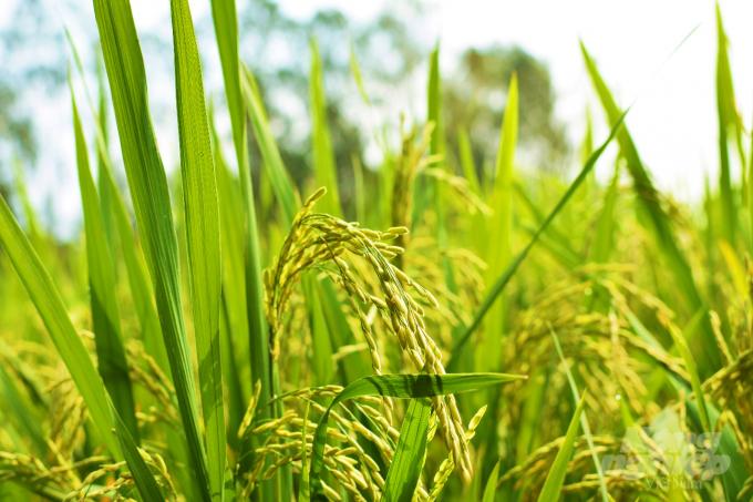 cây lúa