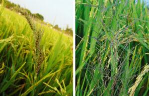 cỏ dại